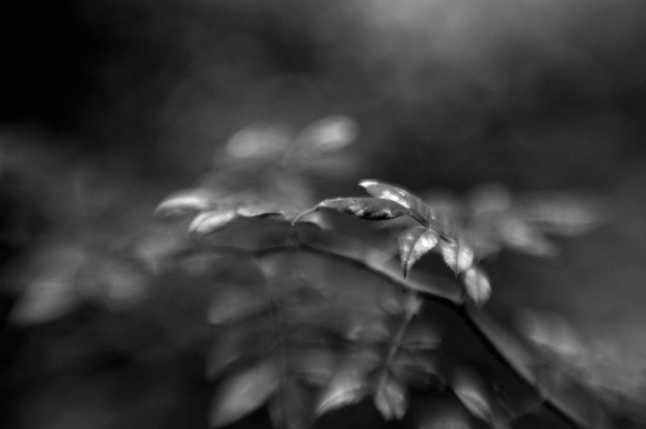 Wild Rose Leaves