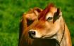 Humorous Cow