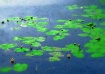water lilies in o...
