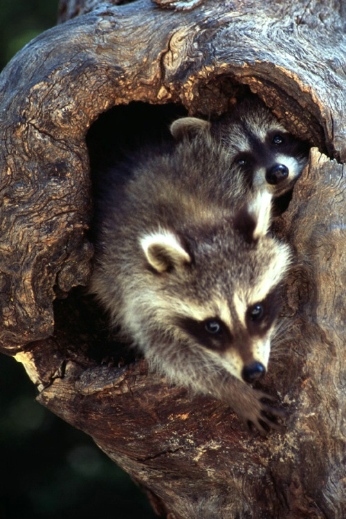Two Coons