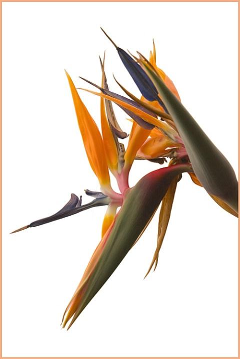 Bird of Paradise - ID: 1313738 © Mary-Ella Bowles