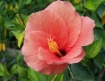 Hibiscus from Sea...