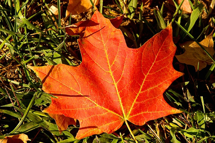 Maple Leaf  ( For my Canadian Friends)