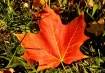 Maple Leaf  ( For...