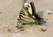Beach butterfly