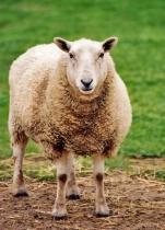 Washable Wool