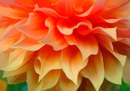 A Magnificent Dahlia Profile