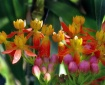 Butterfly Weed in...