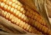 Corn # 2