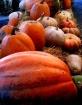 pumkins of fall