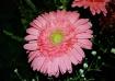 Single Pink Sunfl...