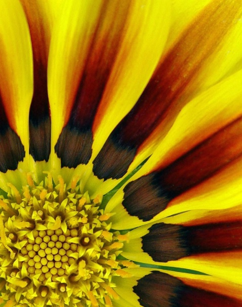 Sunflower-Up Close and Personal
