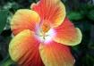 Hibiscus Spectacu...