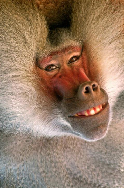 Baboon - ID: 1393823 © Don Johnson