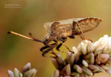 Brown Capsid Bug