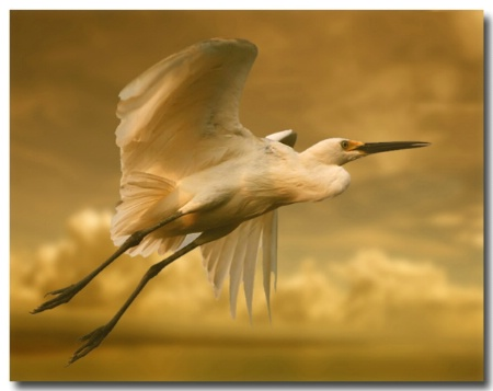 Golden Egret