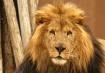 ABQ Lion