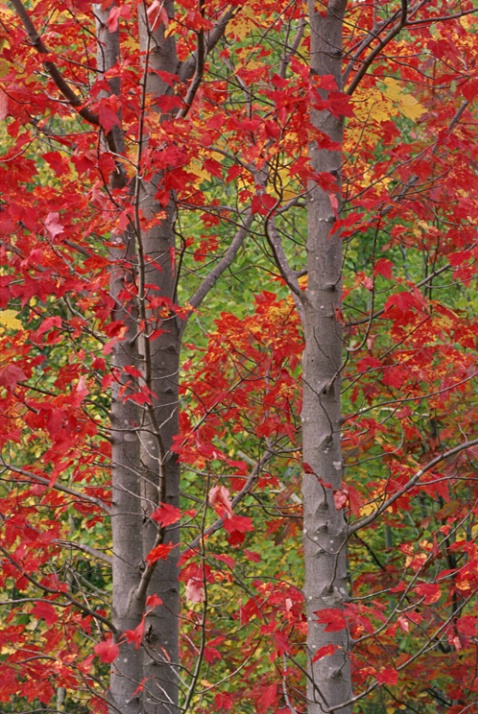 Red and Green Leaves - ID: 1429724 © Nora Odendahl