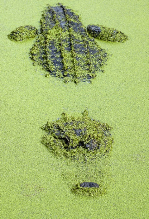 green gator - ID: 1431985 © Michael Cenci