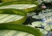 Kew Lily Pads