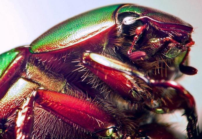 Green Beetle Portrait, v3a