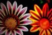 ...Painted Daisy....