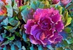"Cabbage ""Rose..."
