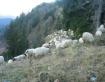 Sheep grazing Jah...