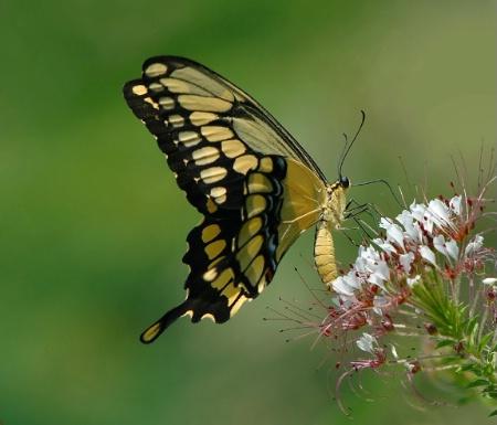 Sweet Swallowtail