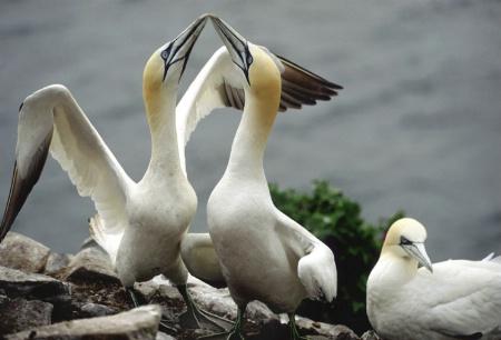 Gannets Greeting,  Bass Rock , Scotland