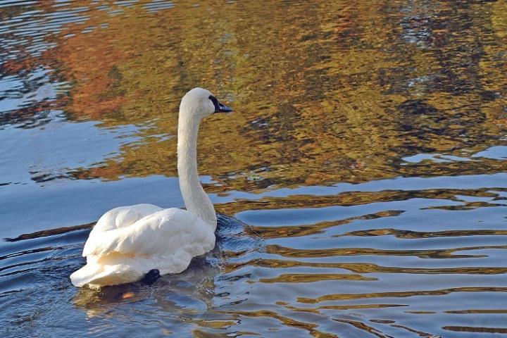 Autumn Swan
