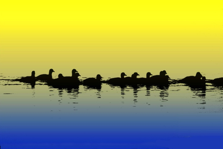 Early morning duck parade