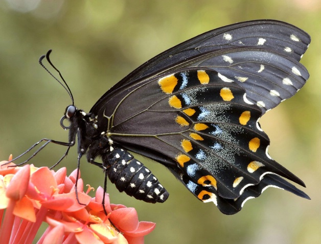 black swallowtail - ID: 1516956 © Michael Cenci