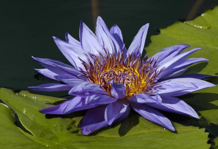 water lily - II - ID: 1517456 © Michael Cenci