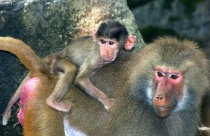 The only way to travel, for a baby Baboon.