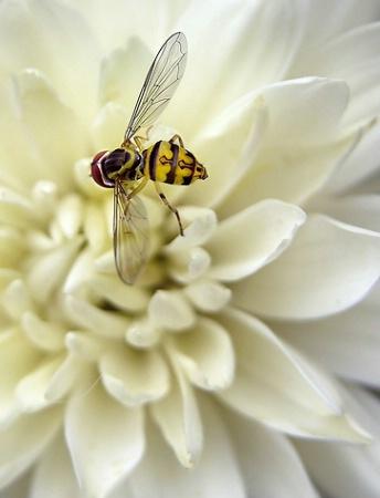 Fine as a Bee