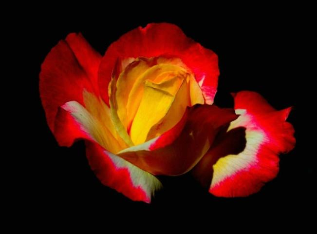Rose Glow II