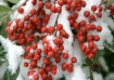 """Snowberries ..."