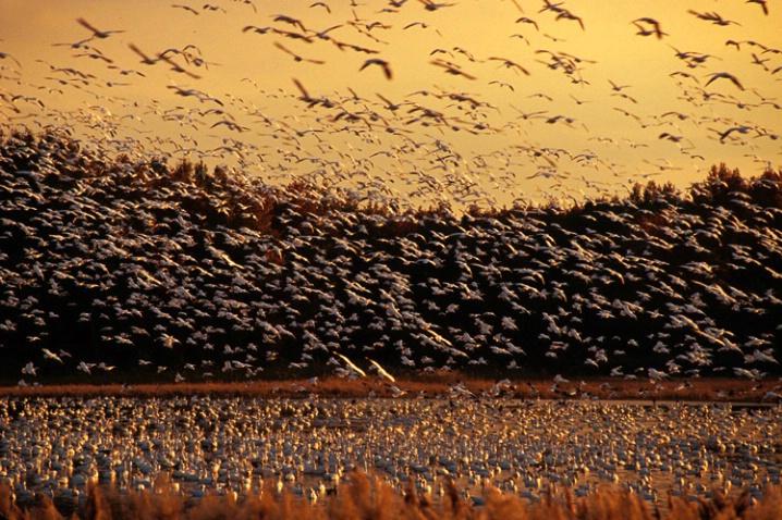 Snow Geese - ID: 1590843 © Karen L. Messick