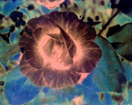 Camellia (Wet Scanned Negative)