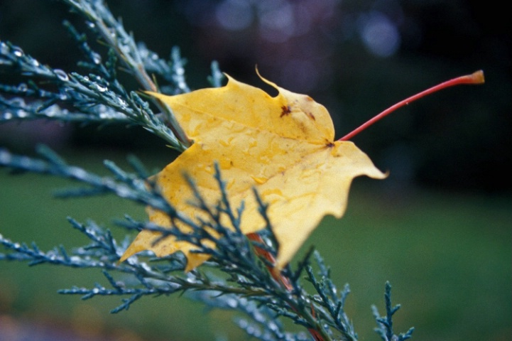 The Yellow Leaf