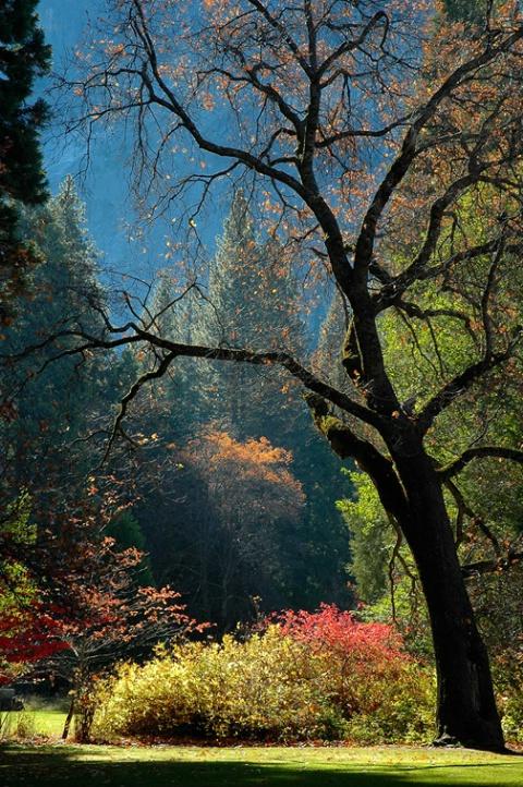 Black Oak and Fall Colors, Yosemite