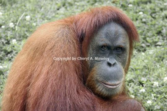 Orangutang 7972_1 - ID: 1617463 © Cheryl  A. Moseley