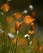 Merced Poppies