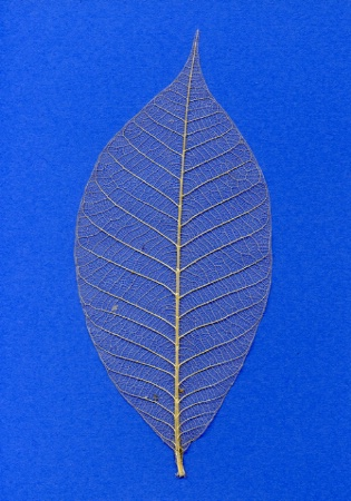 Empty Leaf on Blue