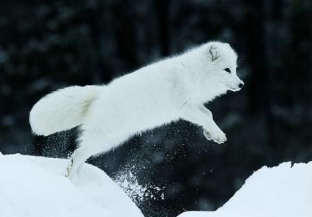 Jumping Arctic Fox