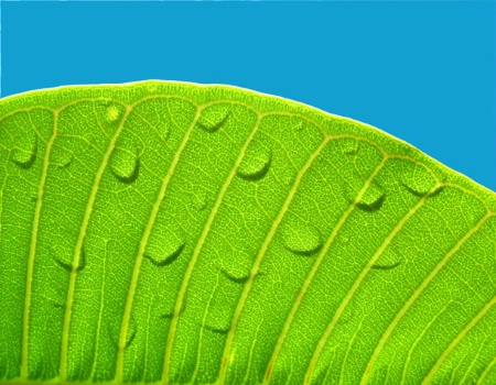 The Photo Contest 2nd Place Winner - Frangipanni Leaf