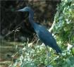 My Blue Heron
