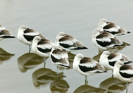 Napping American Avocet's
