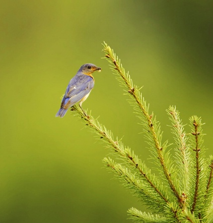 Eastern Bluebird on Pine Tree